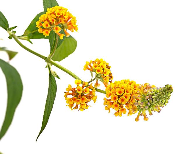 Sommerflieder, gelb