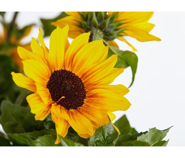 Sonnenblume 'Sunbelievable'®