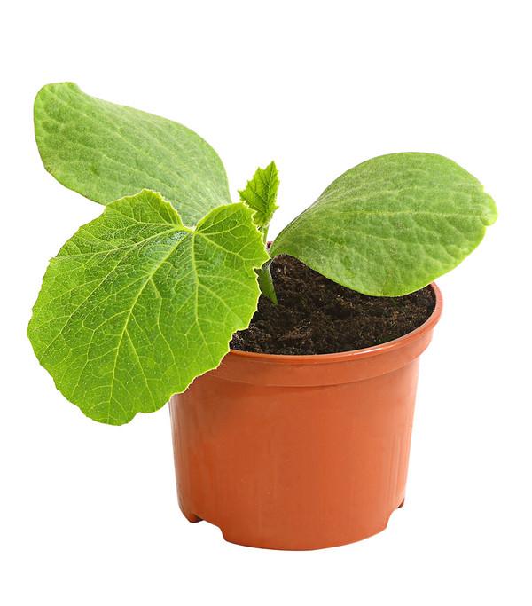 Speisekürbis Hokkaido, Pflanze