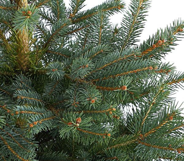 Stech-Fichte, 80 - 100 cm, im Topf gewachsen