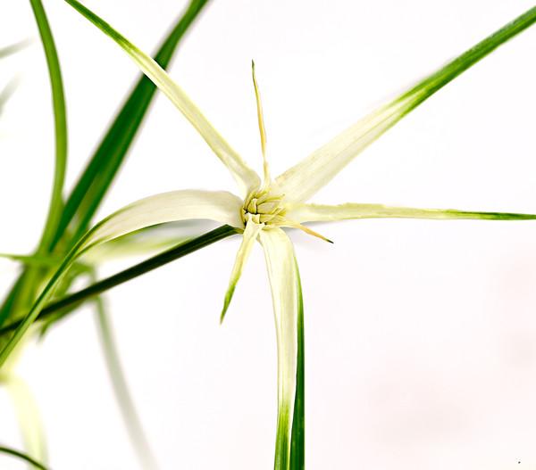 Stern-Sumpfgras - Sternentänzer - Weißes Schnabelried