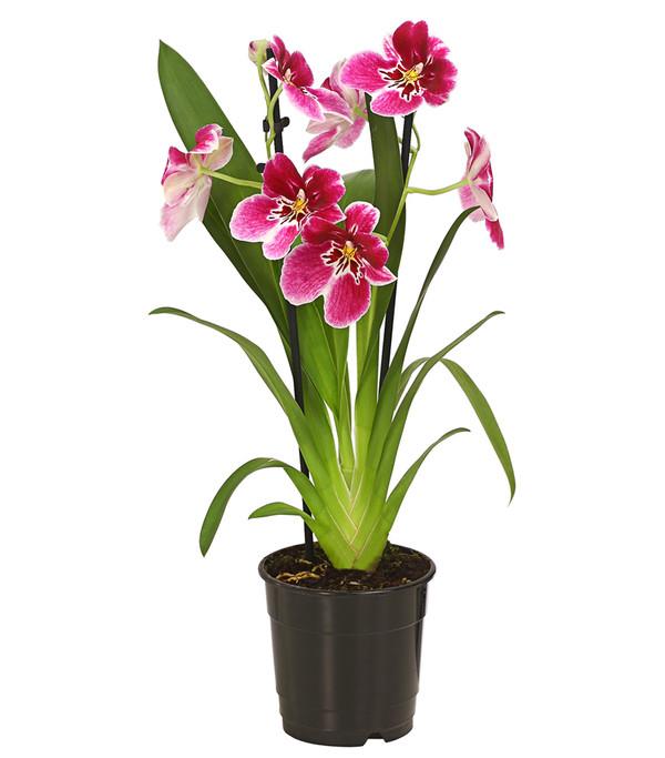 Stiefm tterchenorchidee miltonia dehner - Epiphyten zimmerpflanze ...