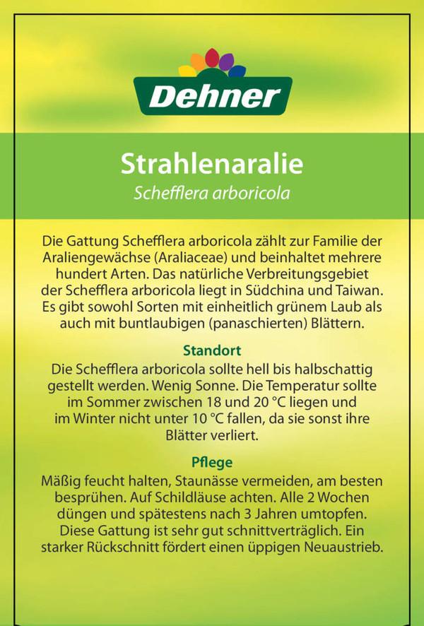 Strahlenaralie - Schefflera