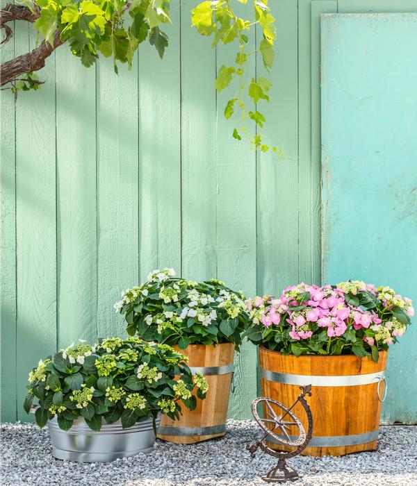 Teller-Hortensie - Garten-Hortensie, rot