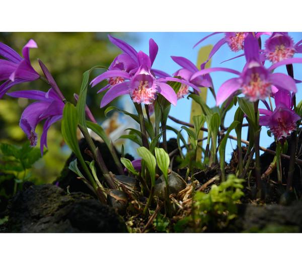 Tibetorchidee