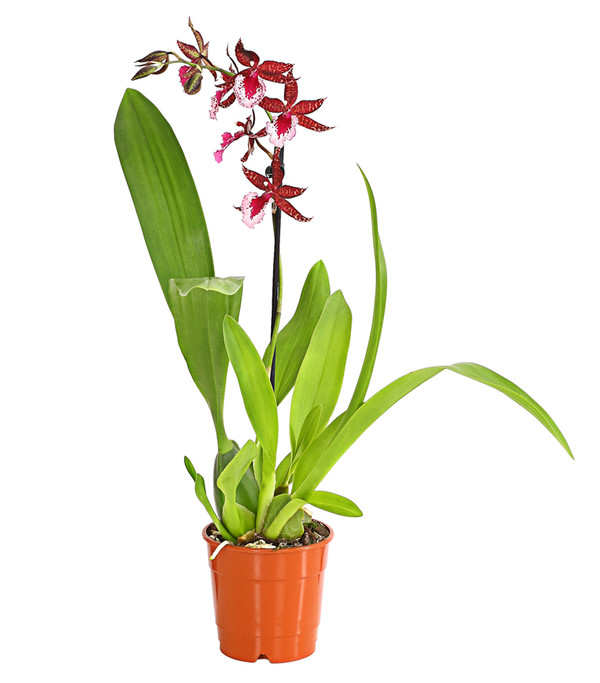 Tigerorchidee 'Massai'
