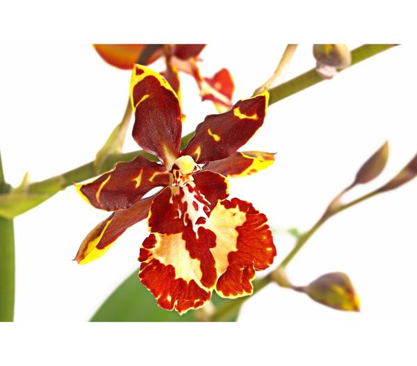 Tigerorchidee 'Wildcat', 1-Trieber
