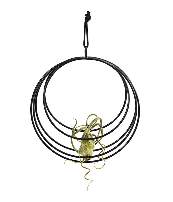 Tillandsien-Mix, im Ornament