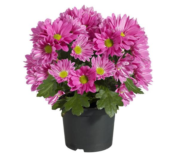 Topf-Chrysantheme, verschiedene Sorten