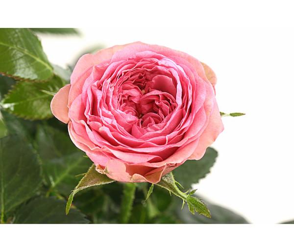 Topf-Rose 'Johanna'