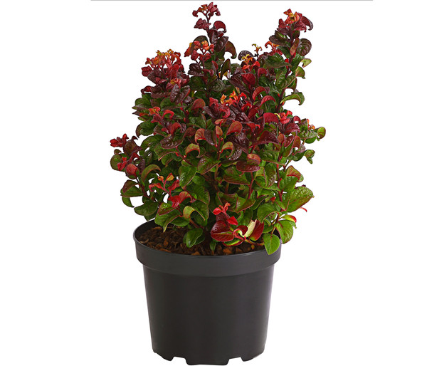 Traubenheide 'Curly Red'