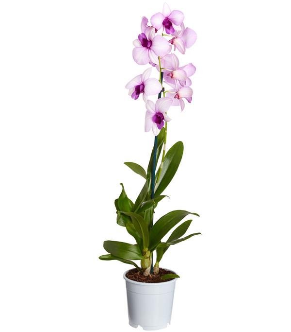 Traubenorchidee, 1-Trieber