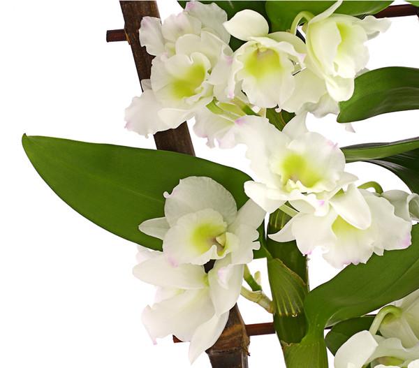 Traubenorchidee, Spalier