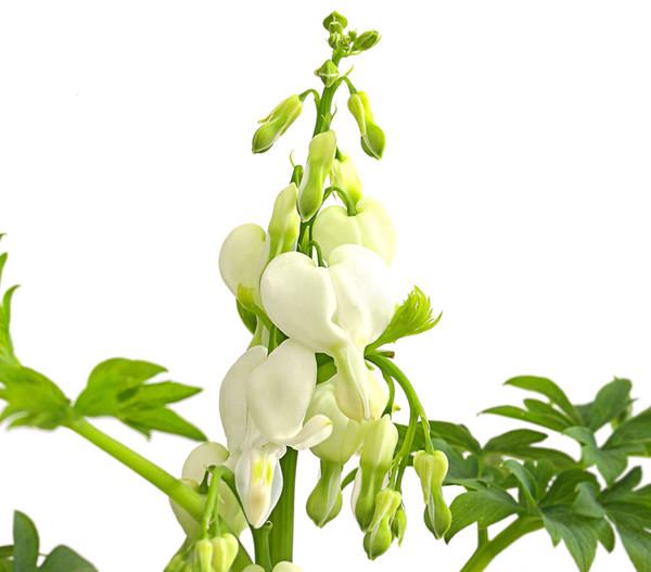 Tränendes Herz - Herzblume, weiß, 9 cm