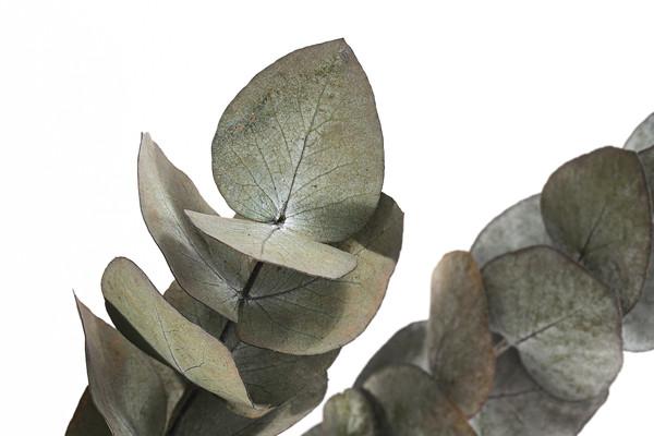 Trockenblumenbund Eucalyptus