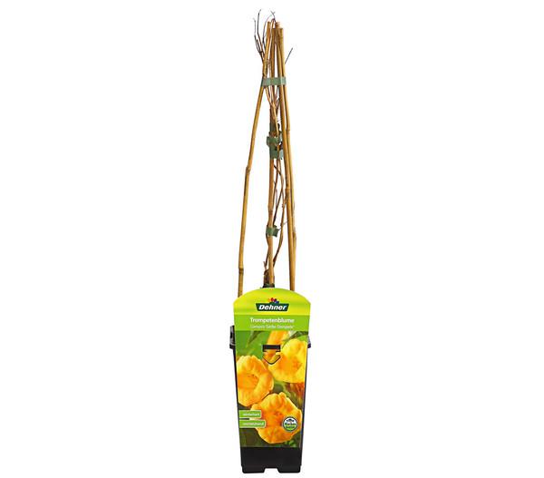 Trompetenblume 'Flava' - Klettertrompete