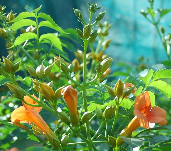 Trompetenblume 'Grandiflora' - Klettertrompete