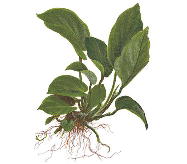 Tropica Anubias barteri caladiifolia, Aquarium Pflanze