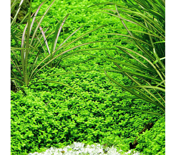 Tropica Kubanisches Perlenkraut, Aquarium Pflanze