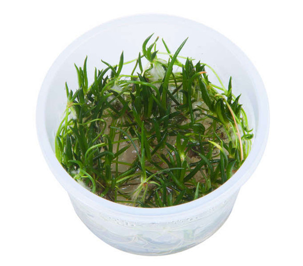 Tropica Littorelle uniflora, Aquarium Pflanze