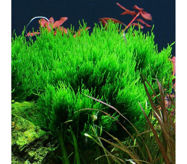 Tropica Taxiphyllum 'Flame', Aquarium Pflanze