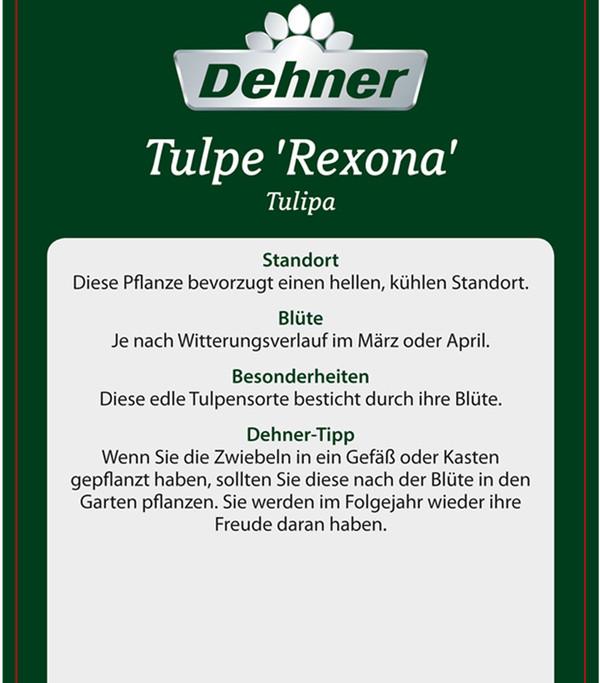 Tulpe 'Rexona'