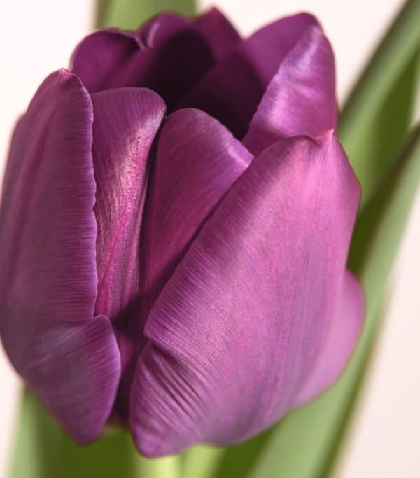 Tulpen 'Negrita'