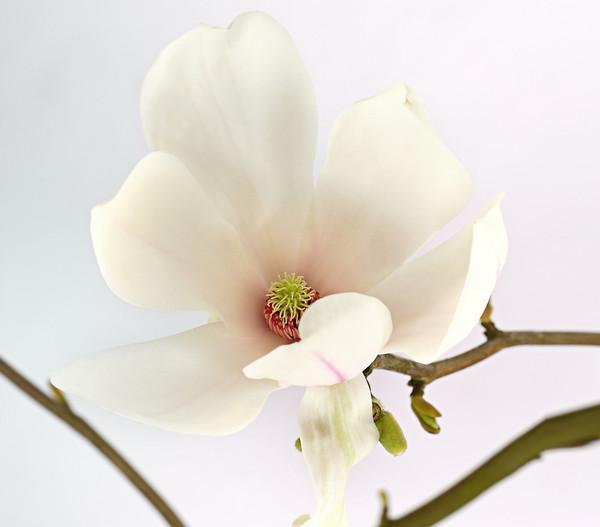 tulpen magnolie 39 alba superba 39 dehner. Black Bedroom Furniture Sets. Home Design Ideas