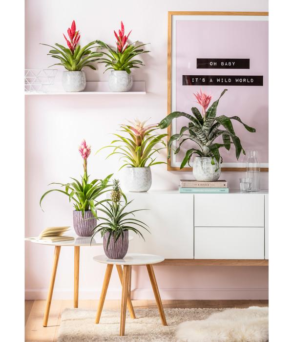 Vriesea 'Intenso Pink'
