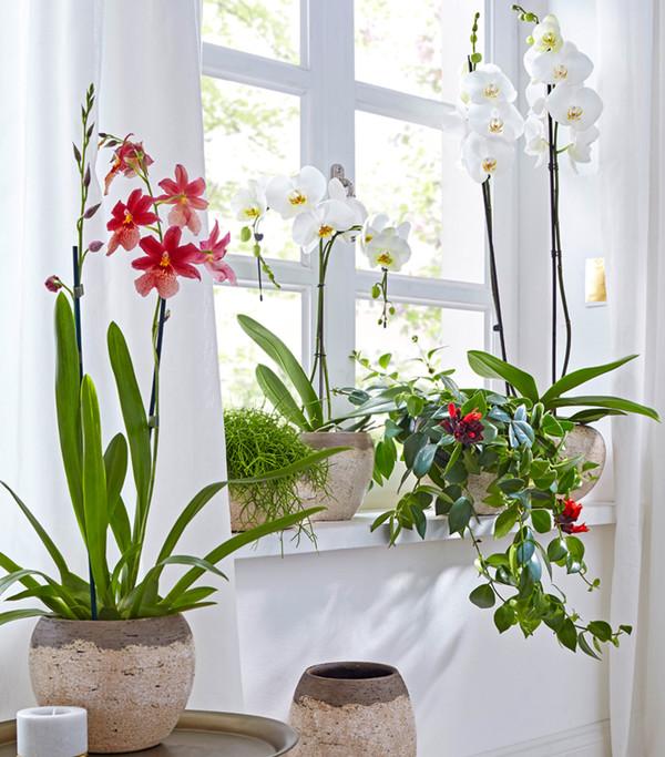 Weiße Schmetterlingsorchidee, großblütig, 2-Trieber