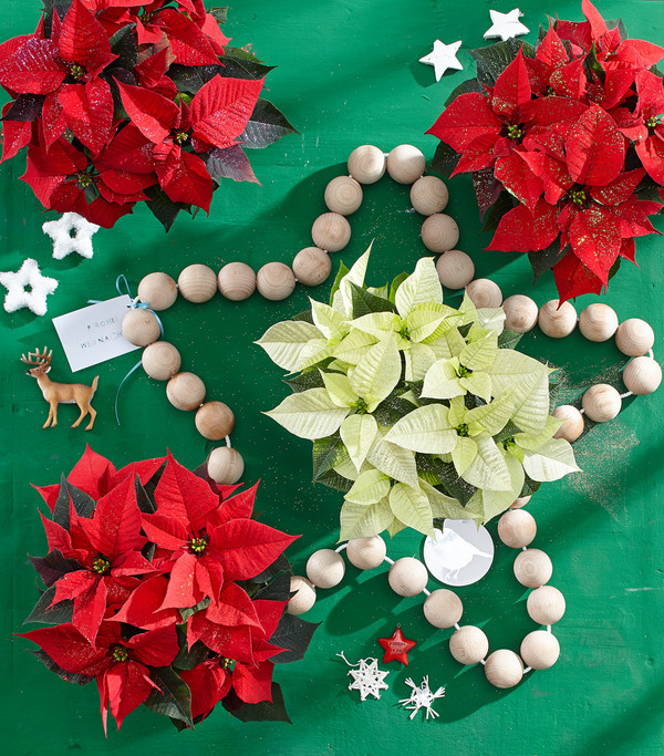 Weihnachtsstern, mit Goldglitter