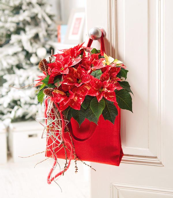 Weihnachtsstern 'Primero Glitter'