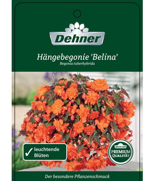XXL Begonie 'Belina Orange'