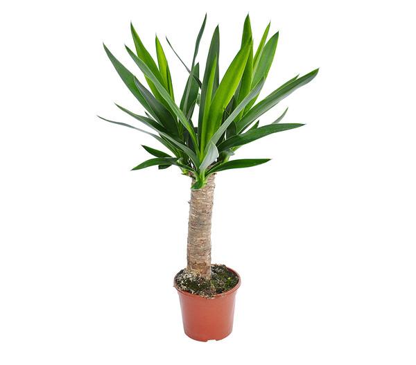 Yucca-Palme 'Maya-Tree'
