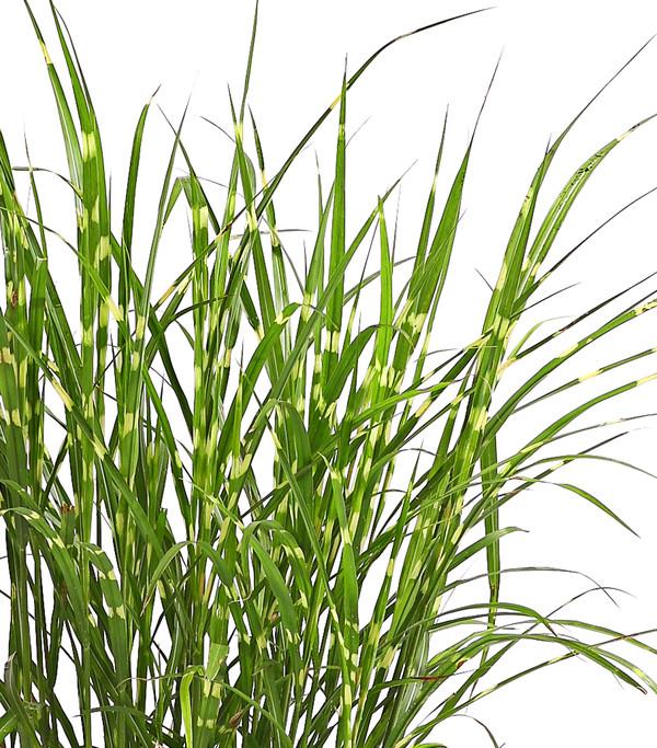 Zebra-Chinaschilf - Stachelschwein-Gras 'Strictus'