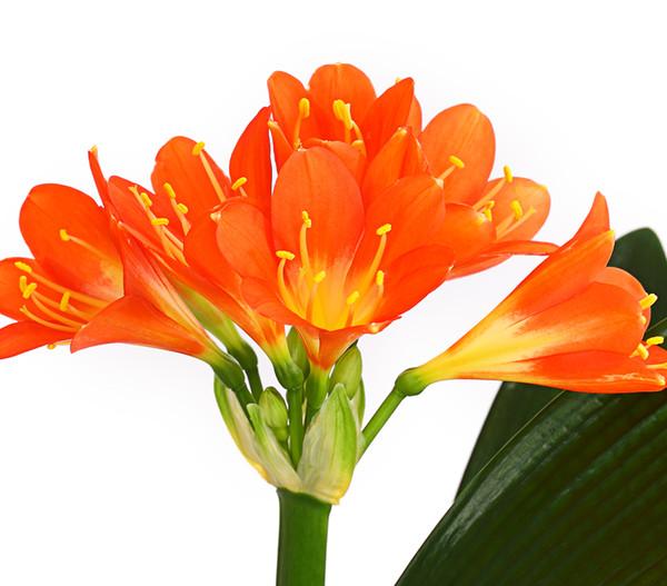 Zimmer-Klivie - Riemenblatt, orange