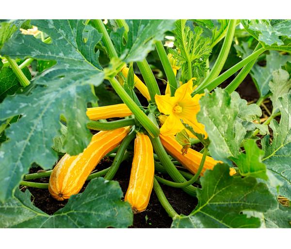Zucchini 'Yellow Tiger'