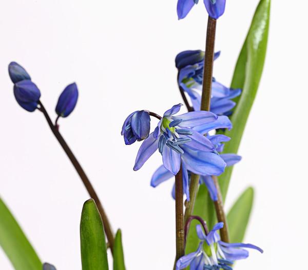 Zweiblättriger Blaustern