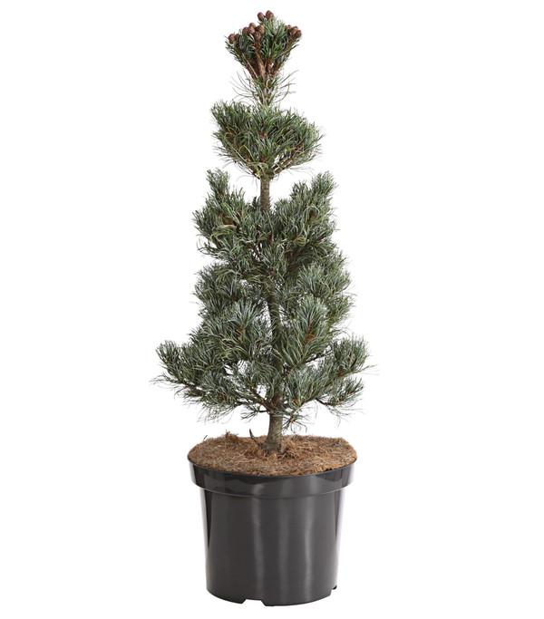 zwerg m dchen kiefer 39 schoon 39 s bonsai 39 dehner. Black Bedroom Furniture Sets. Home Design Ideas