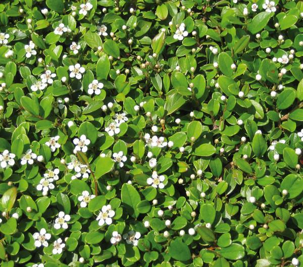 Zwergmispel 39 frieders evergreen 39 dehner for Evergreen pflanzen
