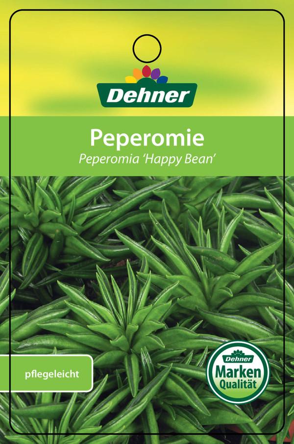 Zwergpfeffer, Peperomie 'Happy Bean'