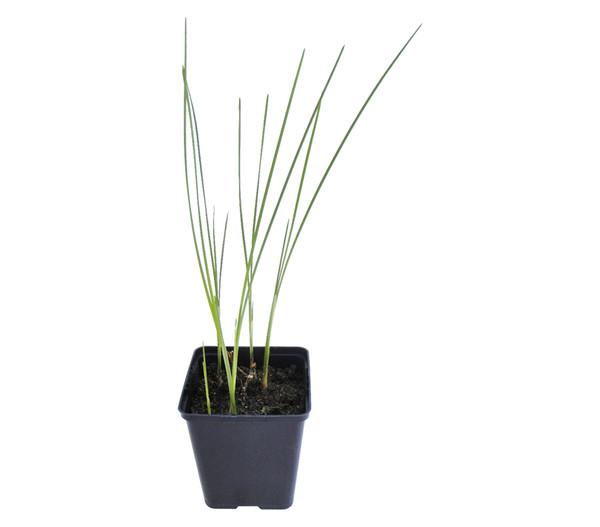 Zwerg-Rohrkolben,typha minima,Wasserpflanze,Komplettset