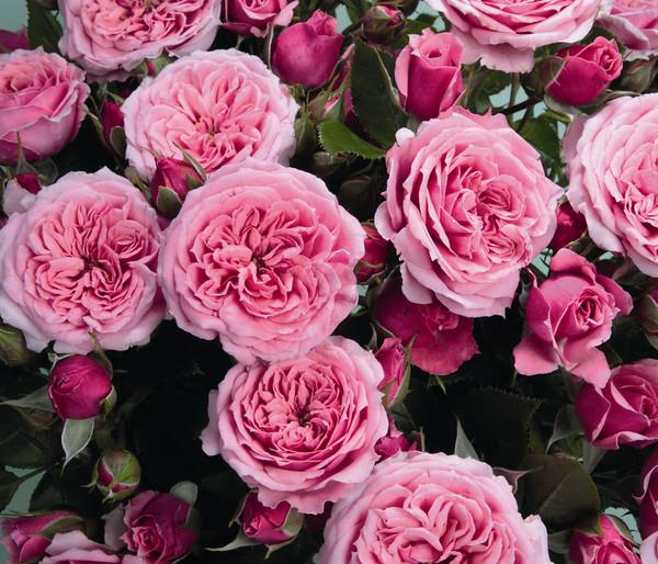 Zwergrose 'Pink Babyflor®'