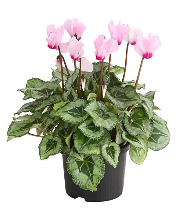 Alpenveilchen 39 victoria 39 dehner for Zimmerpflanzen dekorativ