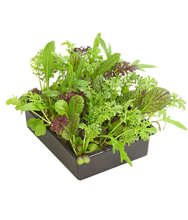 asialeaf salat 20er schale dehner. Black Bedroom Furniture Sets. Home Design Ideas