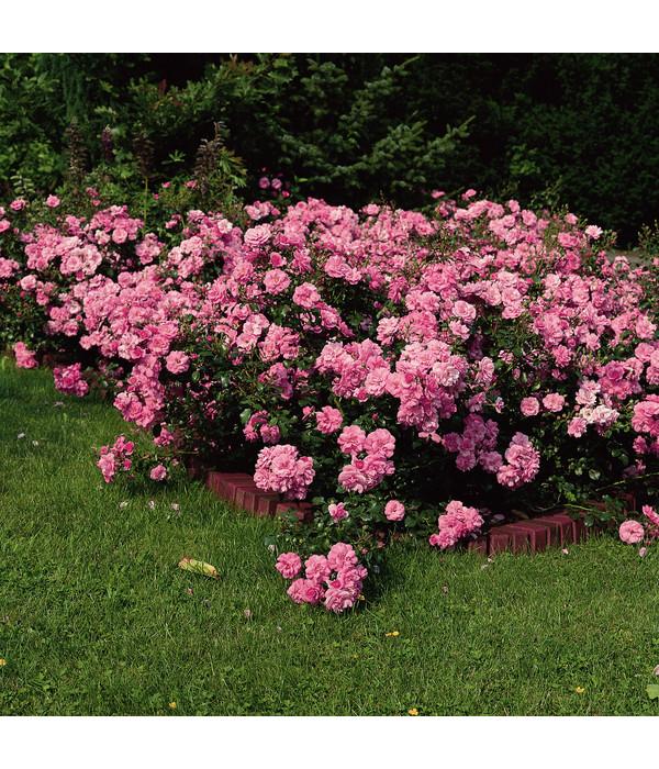 bodendecker rose 39 mirato 39 dehner. Black Bedroom Furniture Sets. Home Design Ideas