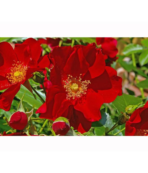 Bodendeckerrose Fairy Queen Rot Dehner