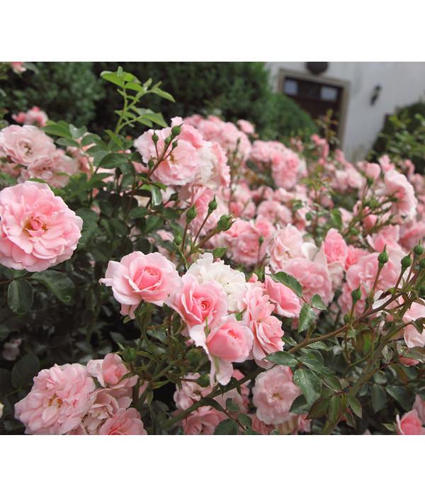 Bodendeckerrose The Fairy Rosa Dehner