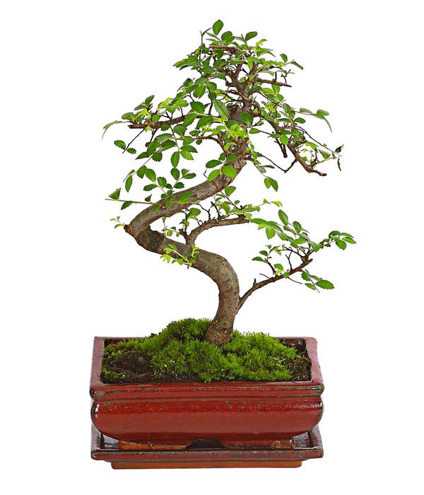 Bonsai - Chinesische Ulme, 8 Jahre | Dehner