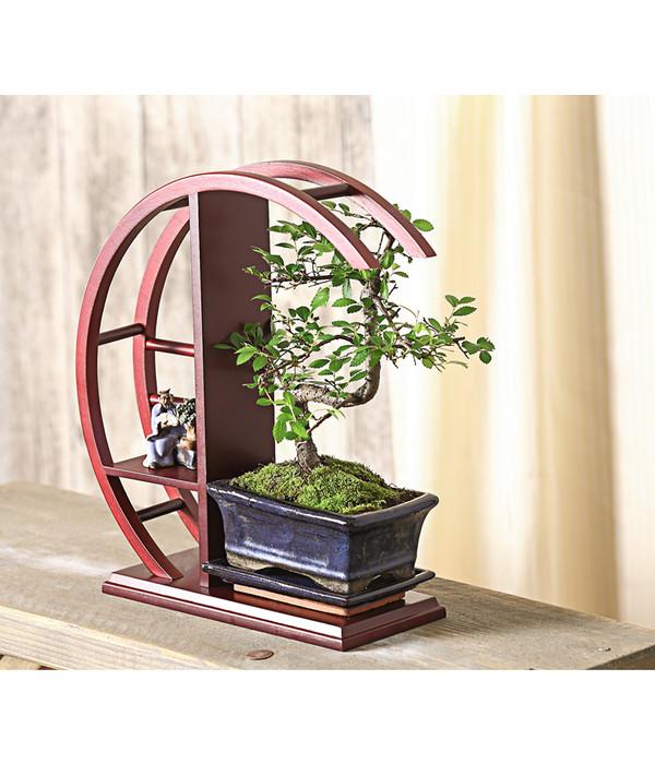 bonsai chinesische ulme im rund regal dehner. Black Bedroom Furniture Sets. Home Design Ideas